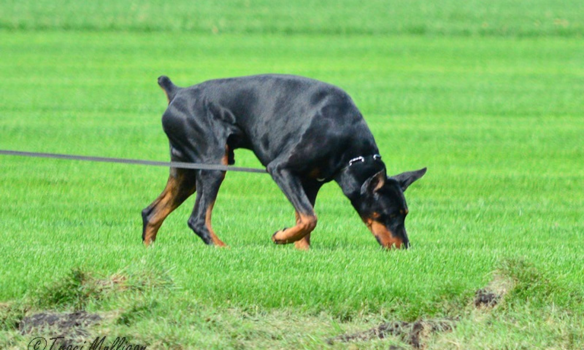Old North State Working Dobermans